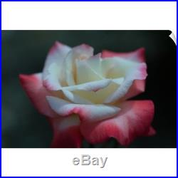 Wall Decal entitled Close-up of a pink and white rose, Los Angeles County